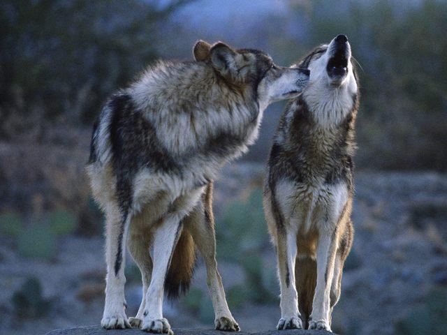 Скачать песню любовь моя я волком вою